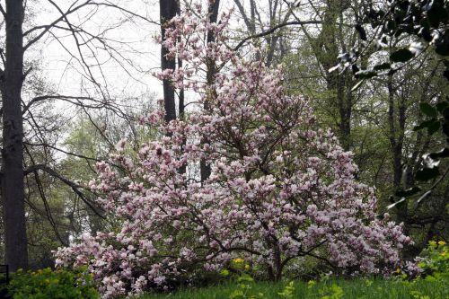 1 magnolia 13 avril 020.jpg