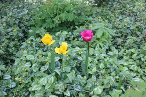 tulipes veneux 23 avril 2016 002.jpg