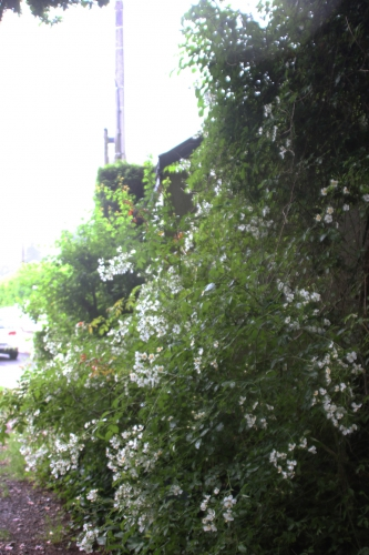 2 rosa mulliganii 20 juin 2016 006.jpg