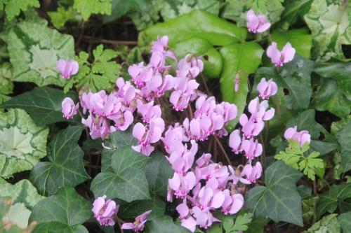 3 cyclamen hederifolium veneux 10 sept 2017 014.jpg
