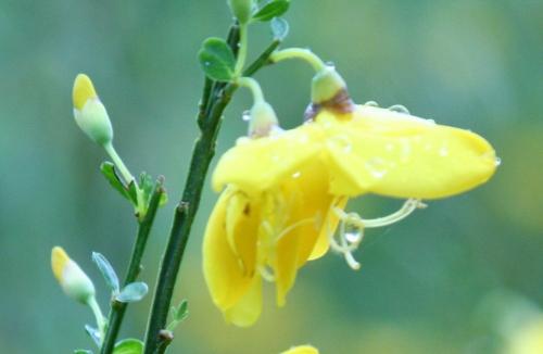 5 cytisus scoparius fleurs 24 mai 2008 rec 051.jpg