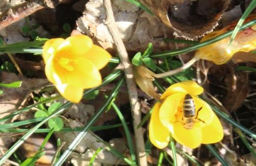 crocus abeille veneux 6 fev 2016 007.jpg