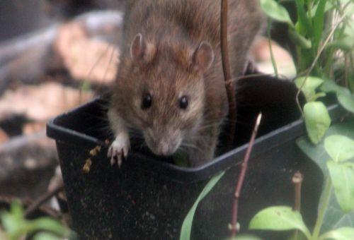 2 rat 27 avril 2012 032.jpg