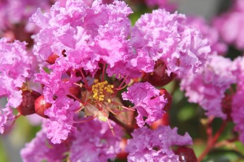 12 lagerstroemia veneux 12 août 2015 fleur 006.jpg