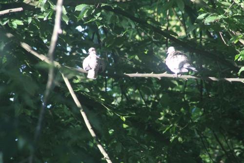 2 pigeon ramier veneux 26 mai 2015 003.jpg