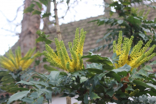 3 mahonia charity veneux 12 dec 2016 010.jpg