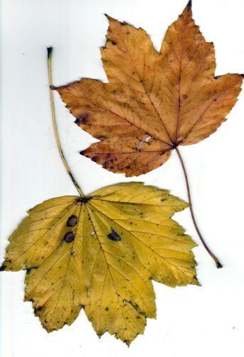 sycomore feuilles.jpg