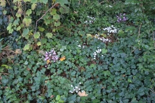 18 cyclamen hederifolium veneux 15 oct 2016 022.jpg