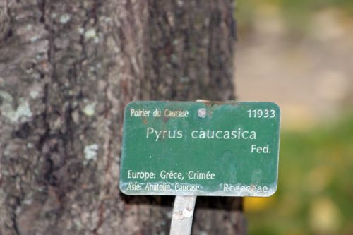 pyrus caucasica 0 paris 1 dec 2013 078 (3).jpg