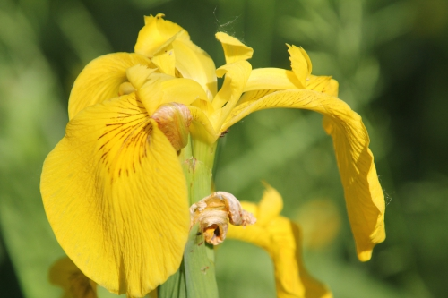 7 iris pseudacorus romi 26 mai 2012 055 (1).jpg
