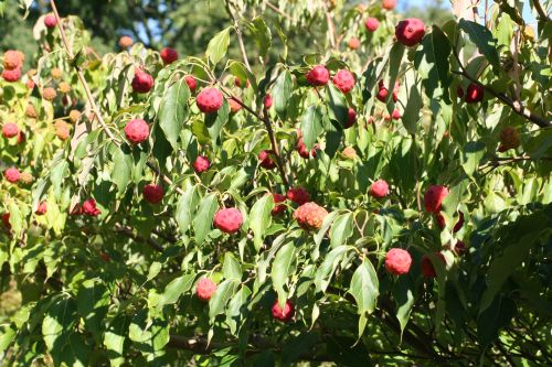0 cornus kousa fruits 16 septembre 028.jpg