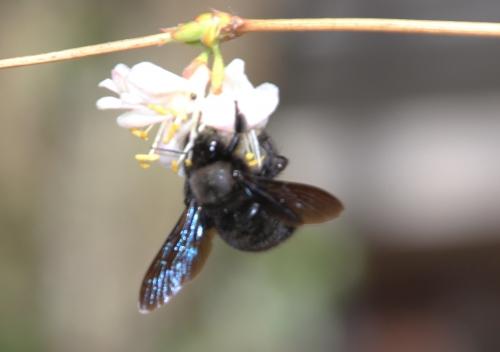 3 xylocopa violacea veneux 8 mars 2015 057 (7).jpg