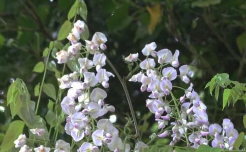 7 wisteria 2 mai 2015 rec 018.jpg