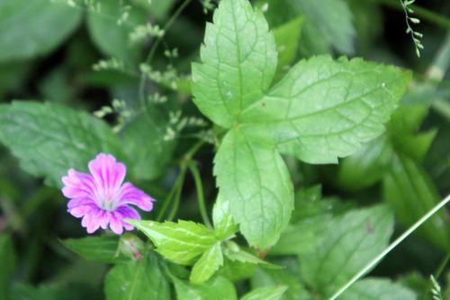 a geranium nodosum romi 9 juin 2012 107.jpg