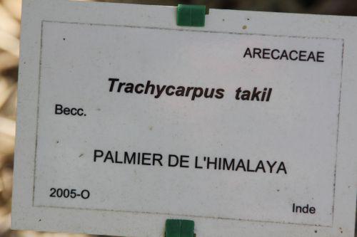 trachycarpus takil marnay 21 sept 2013 093 (2).jpg