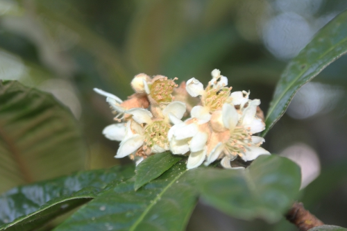 11 eriobotrya oliver veneux 14 oct 2017 010.jpg