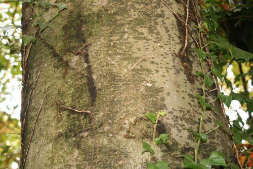 fagus tronc veneux 7 nov 2010 012.jpg
