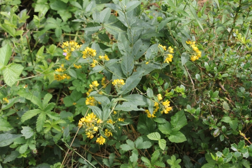 19 lysimachia vulgaris romi 13 juil 2015 017.jpg