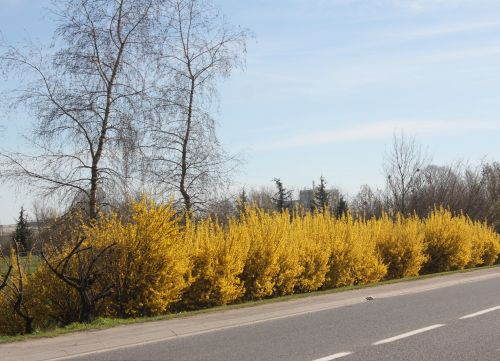 6 forsythias romi 14 avril 2013 002.jpg