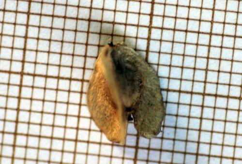 5 dasylirion glaucophyllum 14 janv 2013 017.jpg
