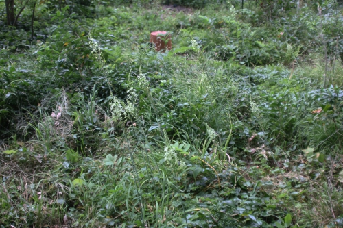 1 ornithogalum pyrenaicum veneux 2 juin 2017 003.jpg