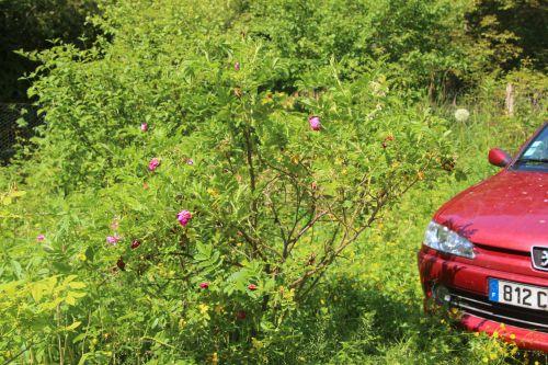 rosa rugosa romi 5 juin 2013 053.jpg