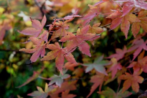 9 acer micranthum gb 21 oct 2012 154.jpg