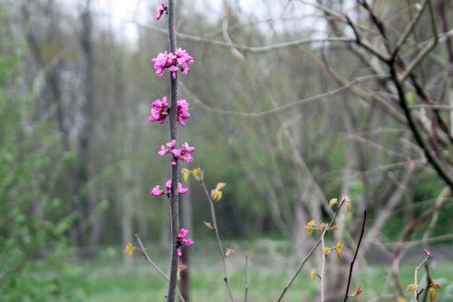 cercis chinensis romi 2 13 avril 2012 042.jpg