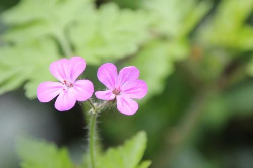 5 geranium robert veneux 28 avril 2016 005.jpg