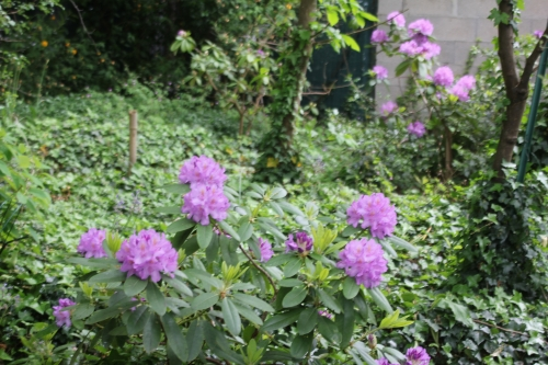 1 rhododendron catawbiense veneux 12 mai 2018 005 (1).jpg