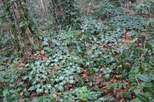 cyclamen hederifolium veneux 1 janv 2016 040.jpg