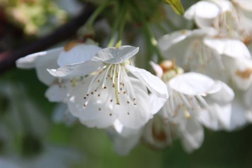 5 cerisier sweetheart romi 19 avril 2016 037.jpg