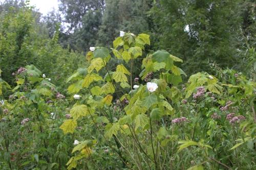 4 hibiscus paramutabilis romi 5 août 2016 065.jpg