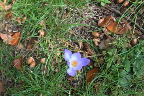 crocus veneux 20 oct 2015 001 (3).jpg