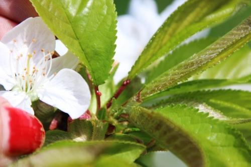 6 cerisier sweetheart romi 19 avril 2016 044.jpg