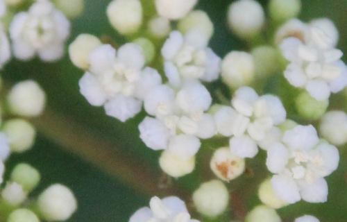 5 viburnum foetidum veneux 10 juil 2016 006 (4).jpg