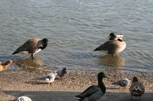 2 pigeons loing 27 janvier 048.jpg