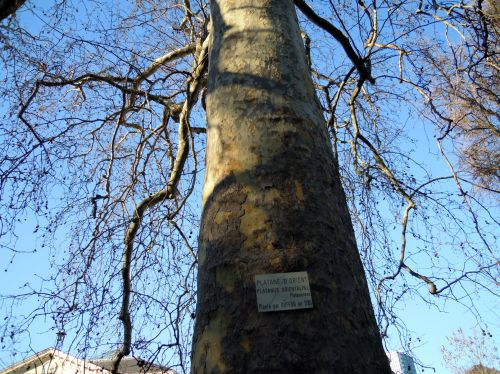 platanus tronc paris 16 jan 469.jpg