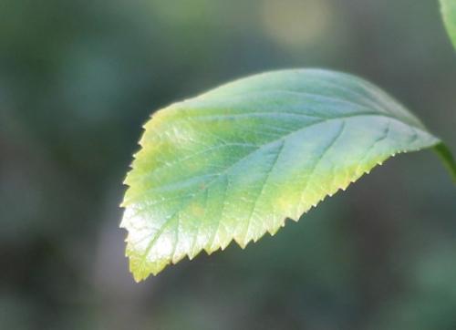 crataegus pedicellata feuille romi 11 nov 2014 015 (2).jpg