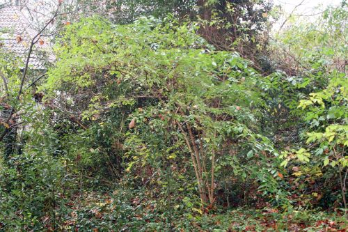 palmensis 25 nov 2010 008.jpg
