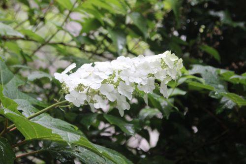 4 hydrangea quercifolia veneux 28 juin 2014 001 (2).jpg