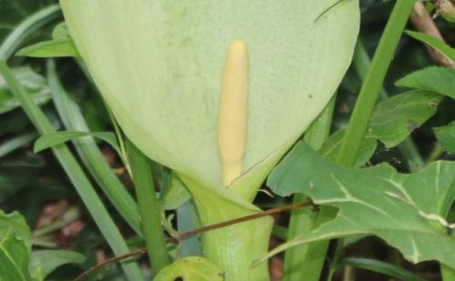 3 arum italicum spadice veneux 8 mai 2015 004 (2).jpg