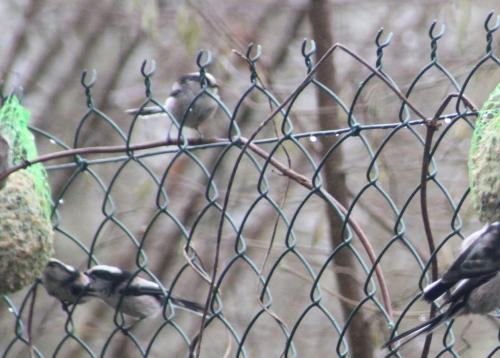 mesange longue queue rec romi 9 janv 2015 002.jpg