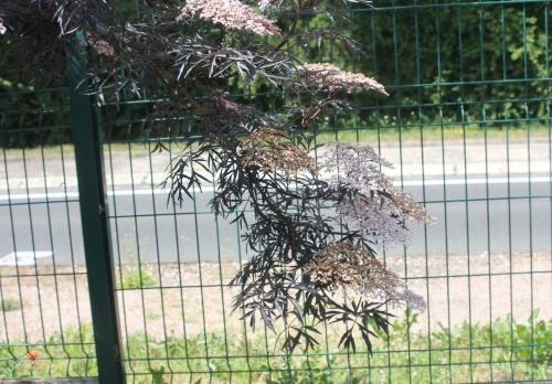 5 black lace veneux 31 mai 2017 057 (5).jpg