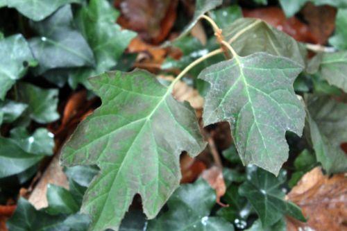feuilles harmony 2 veneux 9 déc 2012 006.jpg