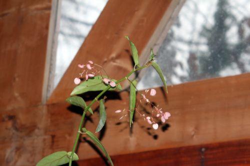 begonia veneux 28 déc 2012 014.jpg