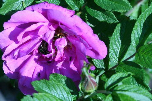 rosa romi 21 mai 153.jpg