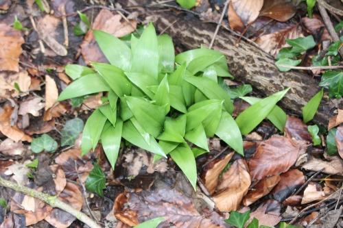 7 allium ursinum veneux 15 fev 2016 011.jpg
