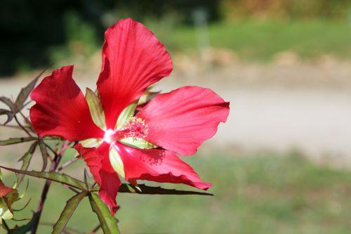 1 hibiscus coccineus paris 24 sept 2011 083.jpg