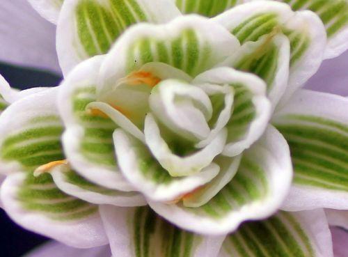 galanthus flore pleno veneux 10 mars 2013 020.jpg